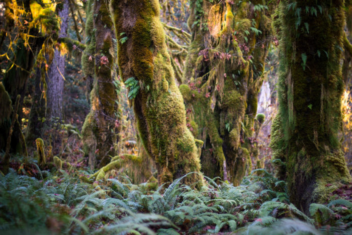 The trail is lined with old trees, mostly bigleaf maples and Sitka spruces draped in moss.