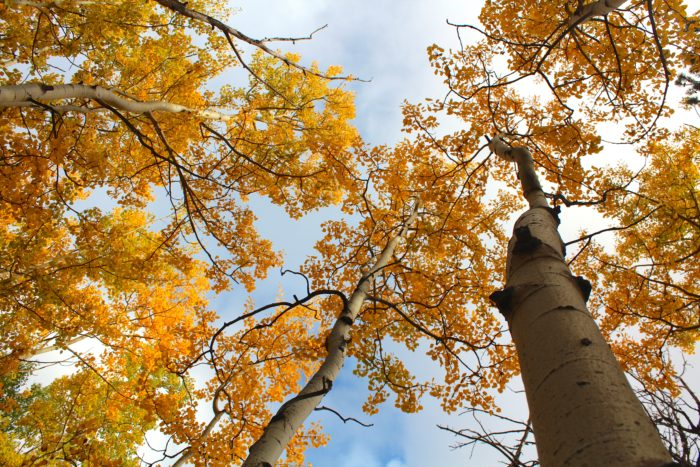 You'll once again meander beneath canopies of lodgepole pine, Engelmann spruce, blue spruce, white fir, limber pine, and of course, towering stands of golden aspens.
