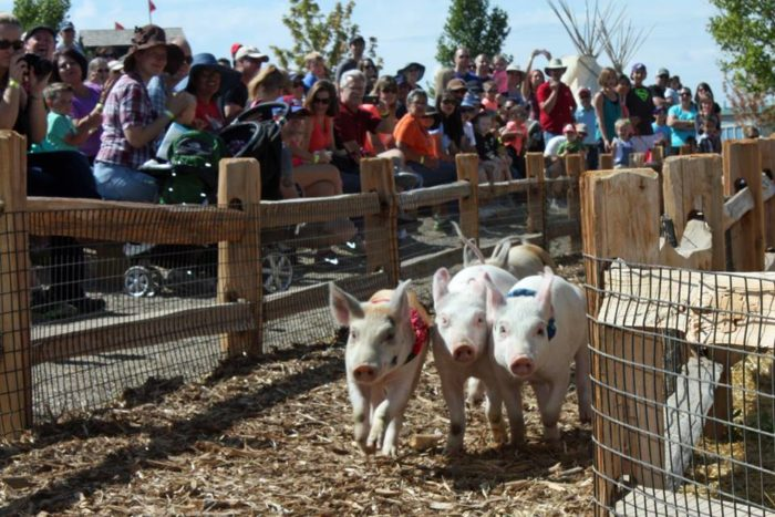 Cheering at the pig races is always a highlight.