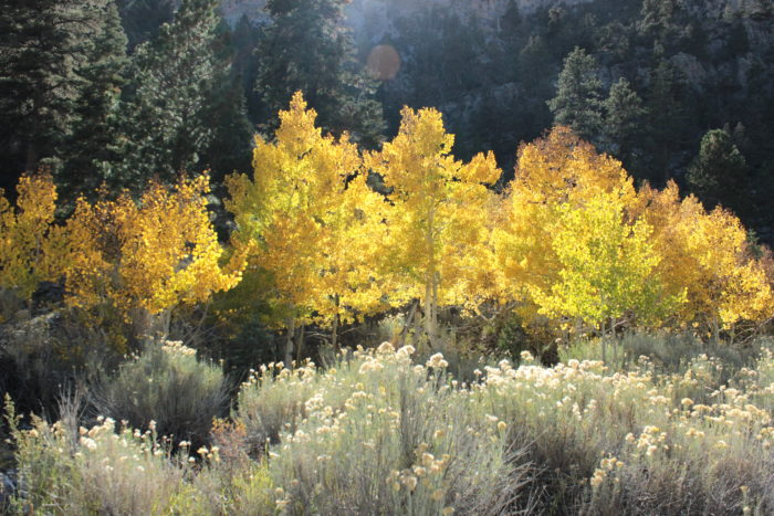 6. Both Kyle Canyon and Lee Canyon roads to Mount Charleston burst with fall color.