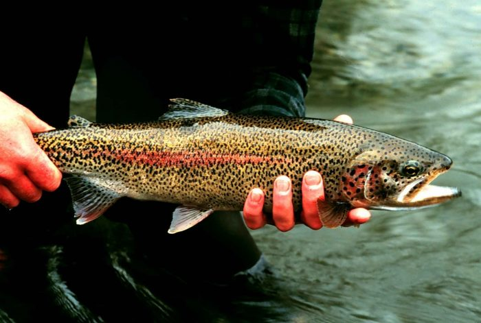 The Truckee River is chock full of Brown Trout and Rainbow Trout that look just like this beauty.