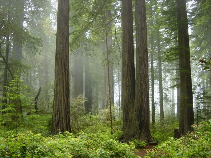 4. The trees that grow in Northern California are spectacular.