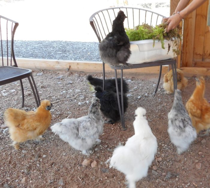 You can also observe or hang out with silkies.