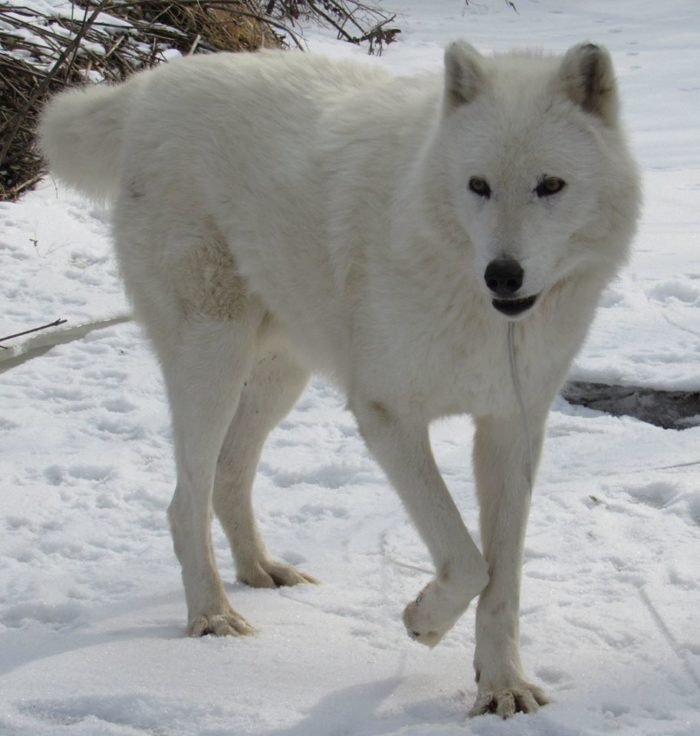 They even have some more rare wolves, like this Arctic wolf.