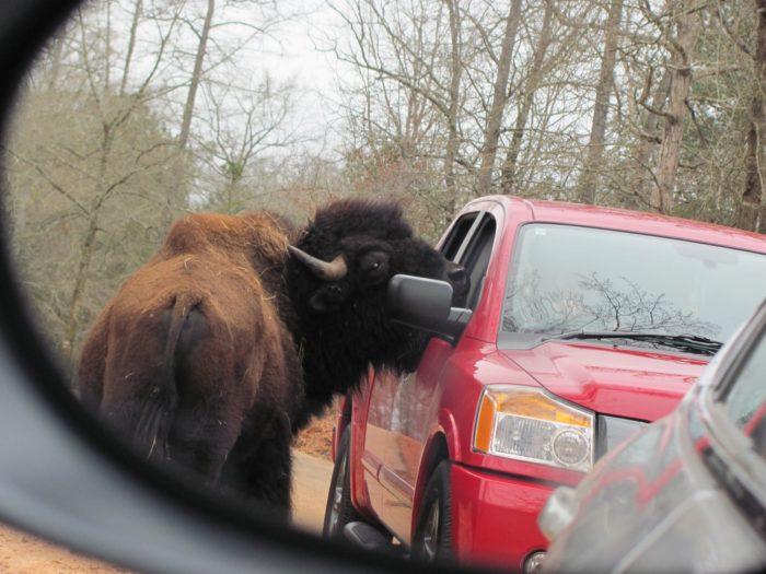 buffalo-they-are-scary