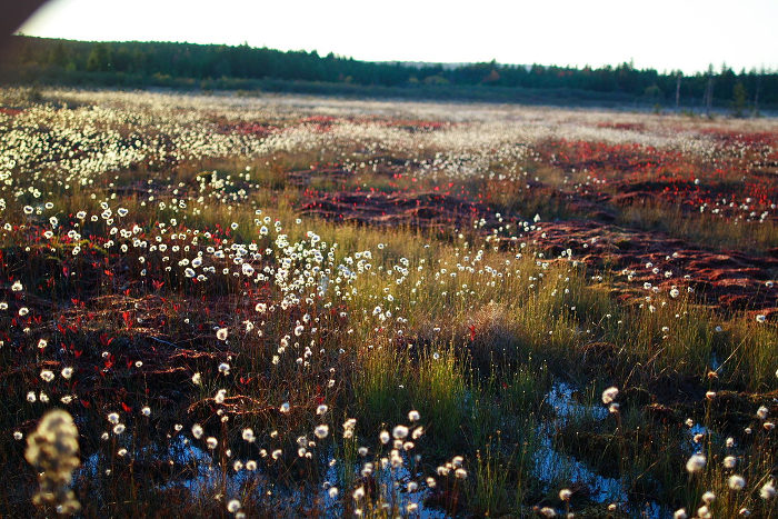 In the bogs you'll find fluffy cottongrass mixed in with the red leaves.