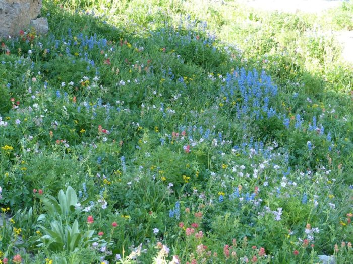 The trail then descends through a brushy habitat filled with an abundance of beautiful wildflowers.