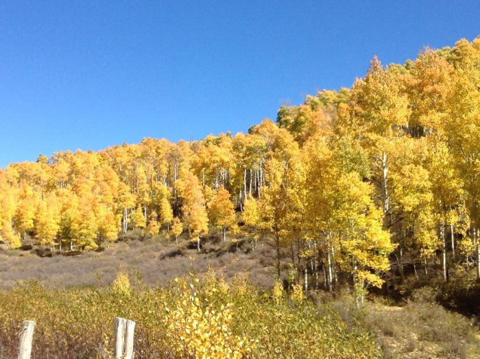 The golden aspens are beautiful in October.
