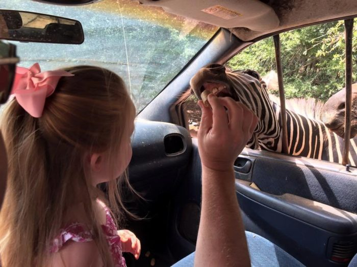 feeding-the-zebras