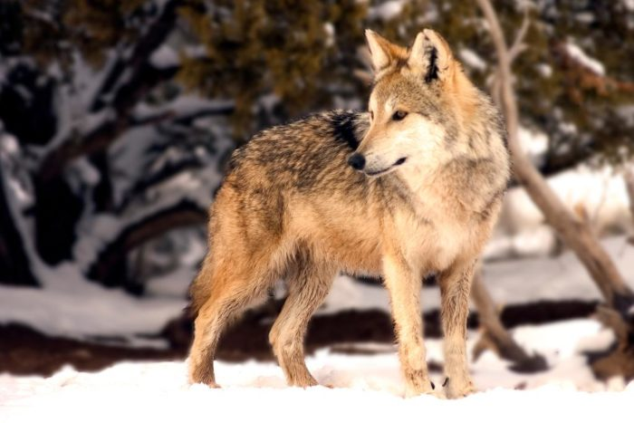Wildlife West is home to some Mexican gray wolves, a rare subspecies of the gray wolf.