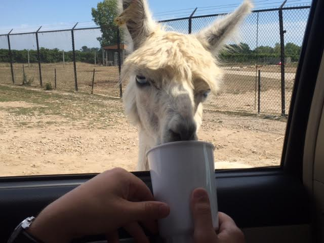 If you choose to feed the animals, staff will let you know when and where it's OK to roll down your window and do so. (Just don't feed them directly out of your hand!)