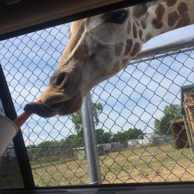 Some of the animals you'll see along the drive-thru portion of the park include giraffes, camels, alpacas, elk, bison, deer, guanaco, llamas...