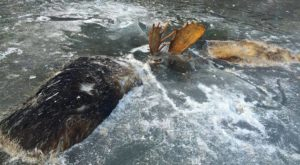 Only In Alaska Can You Find Two Fighting Moose Frozen In Time