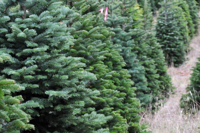 george c wethington nursery and christmas tree farm - Christmas Tree Nursery