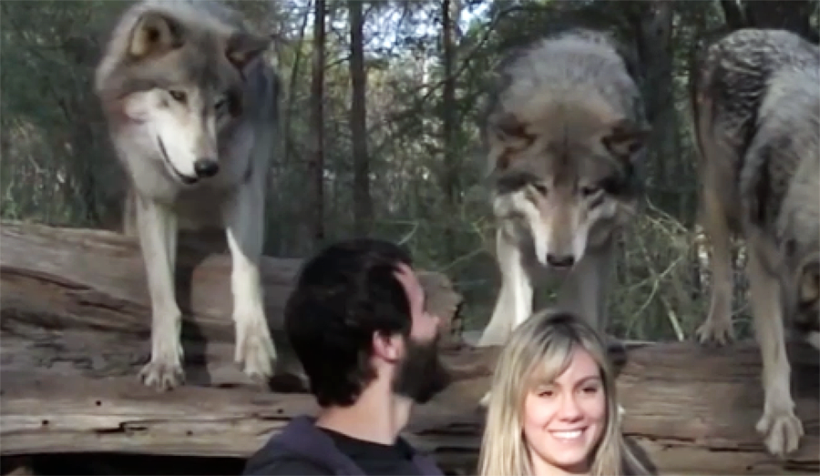 The Seacrest Wolf Sanctuary In Florida Is One-Of-A-Kind And Simply Amazing