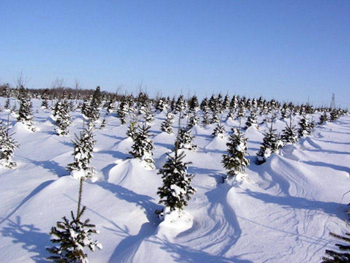 Christmas Tree Farms Minnesota