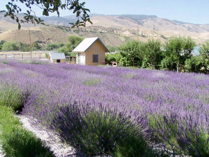 The Beautiful Lavender Farm Hiding In Plain Sight In