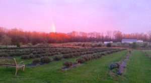 The Beautiful Lavender Farm Hiding In Plain Sight In Ohio That You Need To Visit