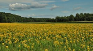 The Beautiful Sunflower Farm Hiding In Plain Sight In Illinois That You Need To Visit
