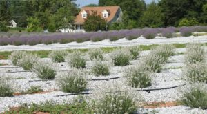 The Beautiful Lavender Farm Hiding In Plain Sight In South Carolina That You Need To Visit