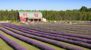 The Beautiful Lavender Farm Hiding In Plain Sight In Wisconsin That You Need To Visit