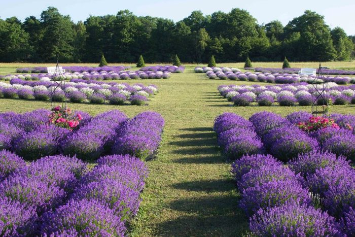 Marvellous The Sweet Smell Of Lavender Will Draw You To This Wisconsin Island With Inspiring One Of Them Had Grown Up In France And A Small Idea About Growing Lavender  Turned Into Planting More Than  Plants  With Plans For More With Beauteous New Garden Buffet Also Fortune Garden Horley In Addition Metal And Wood Garden Bench And Colne Valley Garden Centre As Well As Luxury Gardens Uk Additionally Highdown Gardens Worthing From Onlyinyourstatecom With   Inspiring The Sweet Smell Of Lavender Will Draw You To This Wisconsin Island With Beauteous One Of Them Had Grown Up In France And A Small Idea About Growing Lavender  Turned Into Planting More Than  Plants  With Plans For More And Marvellous New Garden Buffet Also Fortune Garden Horley In Addition Metal And Wood Garden Bench From Onlyinyourstatecom