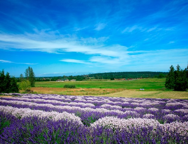 the beautiful lavender farm in sequim  washington you need to visit