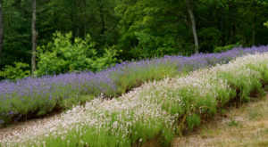 The Beautiful Lavender Farm Hiding In Plain Sight In Massachusetts That You Need To Visit