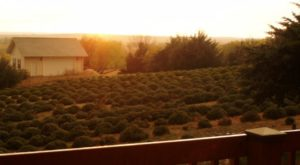 The Beautiful Lavender Farm Hiding In Plain Sight In Kansas That You Need To Visit