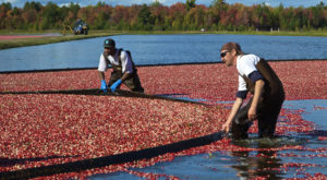 You've Never Seen A Wisconsin Cranberry Harvest Like This Before