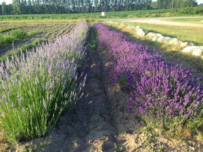 Michigan S Lavender Labyrinth Is A One Of A Kind Gem