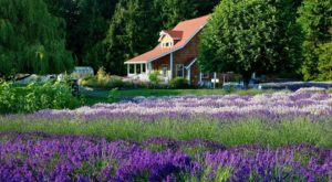 The Beautiful Lavender Farm Hiding In Plain Sight In Washington That You Need To Visit
