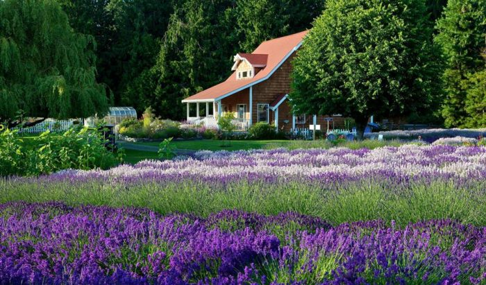 Sweet The Beautiful Lavender Farm In Sequim Washington You Need To Visit With Licious Purple Haze Lavender Isnt Difficult To Find With Delectable Poplar Tree Garden Centre Also Kew Gardens Bb In Addition Large Garden Rocks For Sale And Garden Centres Near Belfast As Well As Upcycled Garden Furniture Additionally Westwood Garden Tractors From Onlyinyourstatecom With   Licious The Beautiful Lavender Farm In Sequim Washington You Need To Visit With Delectable Purple Haze Lavender Isnt Difficult To Find And Sweet Poplar Tree Garden Centre Also Kew Gardens Bb In Addition Large Garden Rocks For Sale From Onlyinyourstatecom