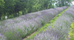 The Beautiful Lavender Farm Hiding In Plain Sight In Kentucky That You Need To Visit