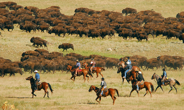Buffalo being herded by cowboys and cowgirls