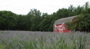 The Beautiful Lavender Farm Hiding In Plain Sight In Texas That You Need To Visit
