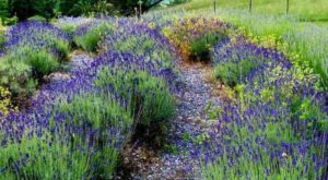 The Beautiful Lavender Farm Hiding In Plain Sight In North Carolina That You Need To Visit