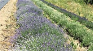 The Beautiful Lavender Farm Hiding In Plain Sight In New Hampshire That You Need To Visit