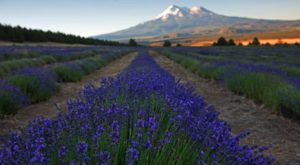 The Beautiful Lavender Farm Hiding In Plain Sight In Northern California That You Need To Visit