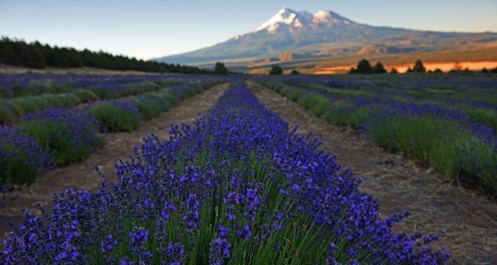 Beautiful Northern California Drop Top: The Beautiful Lavender Farm Hiding In Plain Sight In