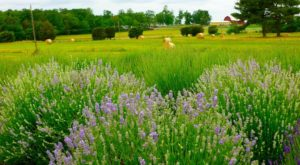The Beautiful Lavender Farm Hiding In Plain Sight Near Washington DC That You Need To Visit