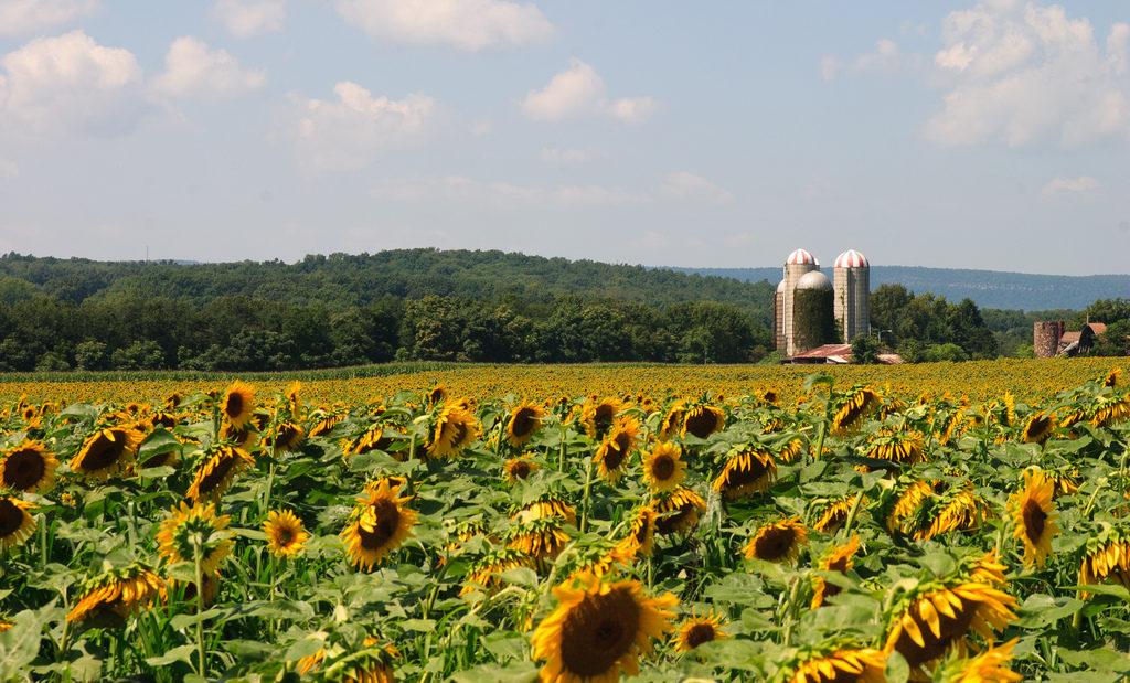 New Jersey S Sunflower Maze Is A Hidden Gem The Whole
