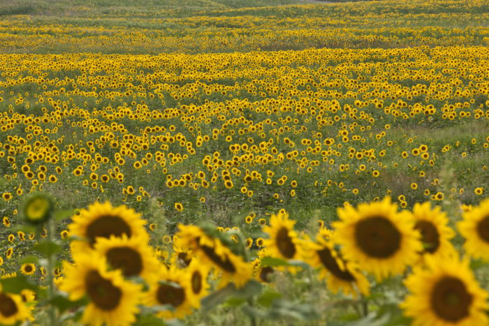 Safari New Jersey >> New Jersey's Sunflower Maze Is A Hidden Gem The Whole Family Can Enjoy