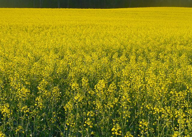 9 gorgeous flowering fields in kentucky canola fields mightylinksfo Choice Image