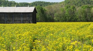 9 Devastatingly Gorgeous Flowering Fields In Kentucky That Will Take Your Breath Away