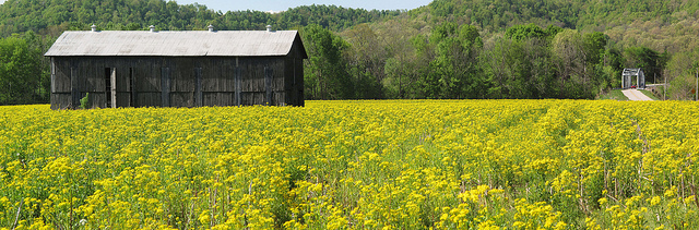 9 gorgeous flowering fields in kentucky flickrkentucky photo file this vibrant yellow field mightylinksfo Images