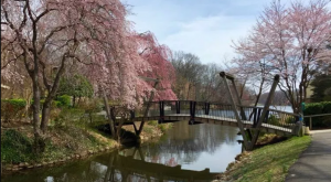 Here Are The 6 Best Places To See Cherry Blossoms In Virginia This Spring