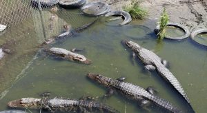 You'll Never Forget A Visit To This One Of A Kind Alligator Ranch Near Denver