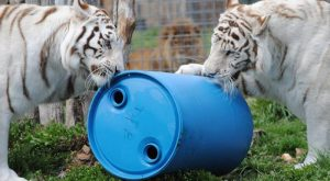 You'll Never Forget A Visit To This One Of A Kind Tiger Sanctuary In Missouri