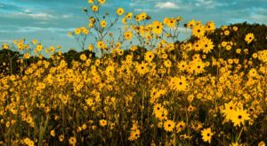 A Trip To Florida's Neverending Sunflower Field Is Like Something From A Dream